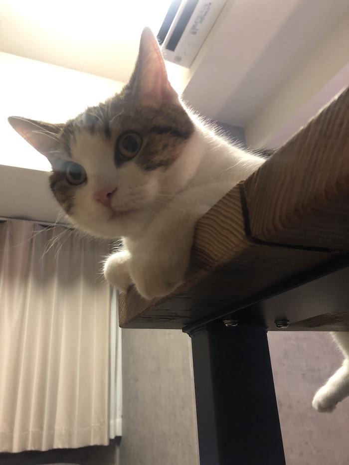 猫(おこめ)